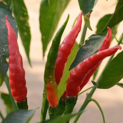 Chile de árbol fresco